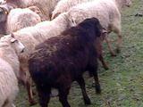 Продаю овец